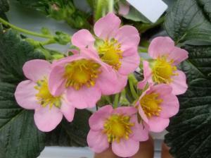 반려식물로 추천!  일 년 내내 꽃피는 국산 딸기'고슬'