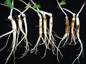 인삼 뿌리썩음병원균 진단 기간, 반으로 줄인다