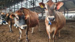 '저지종'젖소 종합관리 체계 구축한다