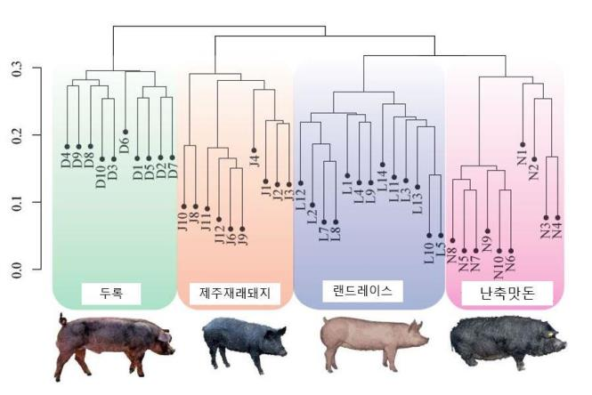 '난축맛돈'육질 관여 유전자 찾았다